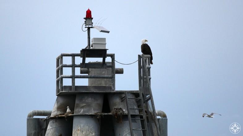 Bald Eagle near Homer Harbor, Alaska