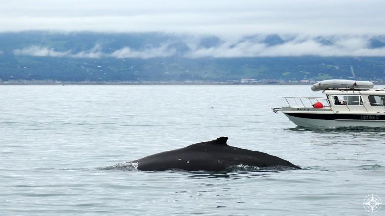 humpback whale fin, boat, Kachemak Bay, Alaska