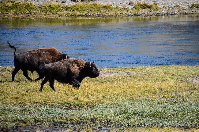 Roaming bison in Yellowstone National Park, photo by Lauren Gay, outdoorsy diva