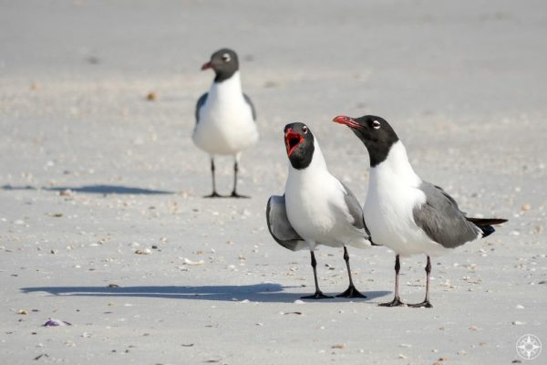 Laughing Gulls communicate, representing Happier Ambassador program