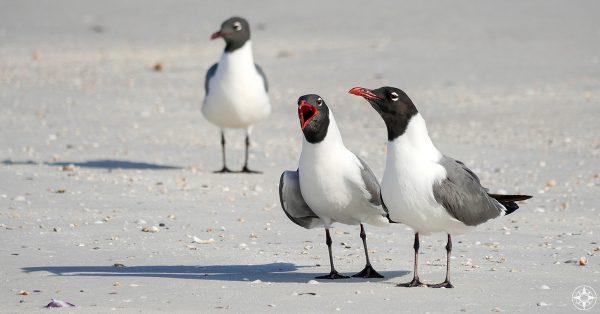 Laughing Gulls communicate, representing Happier Ambassador program