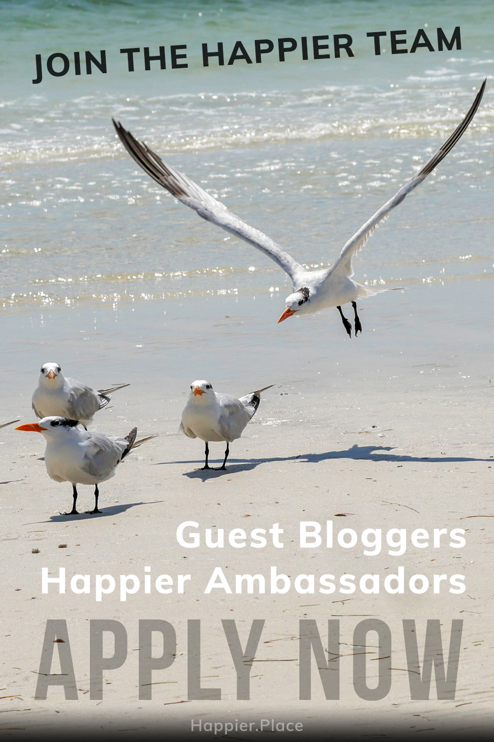 Join the Happier Team, Apply now, Guest Bloggers, Happier Ambassadors, happier place, royal tern landing among flock on beach