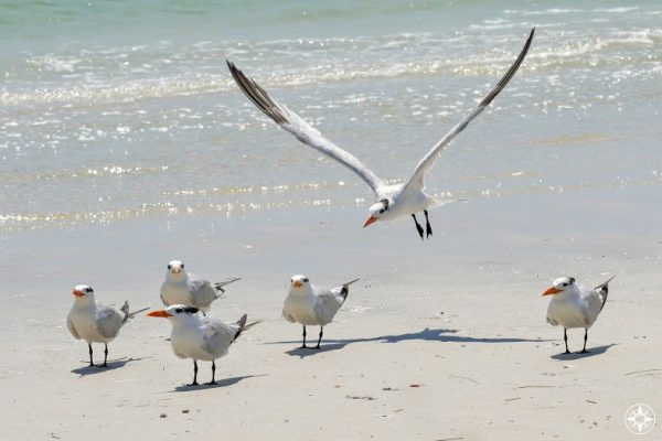 Royal Tern landing among flock, beach, join, happier place team