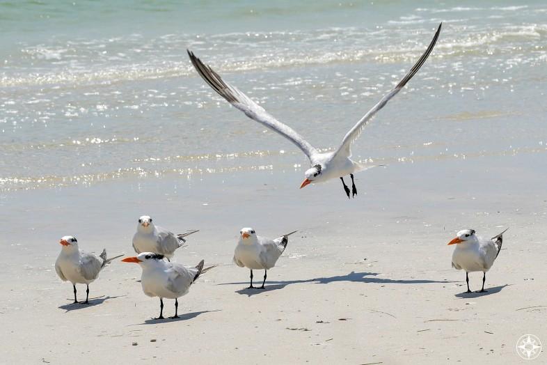Royal Tern landing among flock, beach, join, happier place team