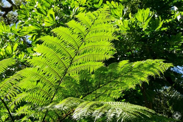 Looking up at fern-like leaves, Sunken Gardens, Florida