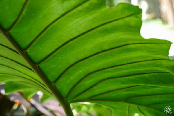 Close-up of patterns on underside of large green leaf
