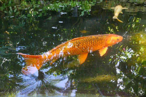 Colorful koi fish and subtropical tree reflection