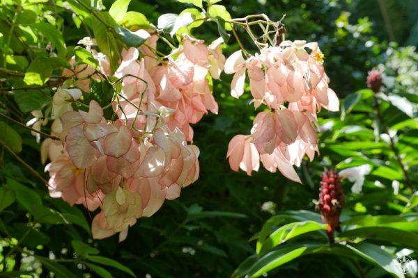 Cream pink salmon peach colored Chinese Rain Tree or Flame Tree
