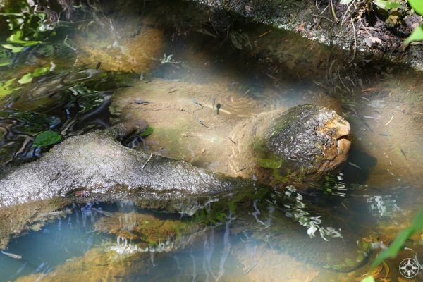 Very old, large alligator snapping turtle, beak open, Sunken Gardens, St. Petersburg, Florida