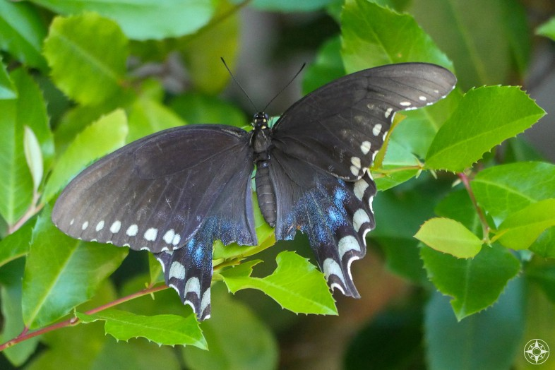 Black Florida Spicebush Swallowtail buttefly missing its swallow tail.