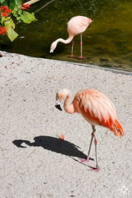 Chilean flamingos at Sunken Gardens - with feathers that are more salmon-colored - but very pink feet and knees!