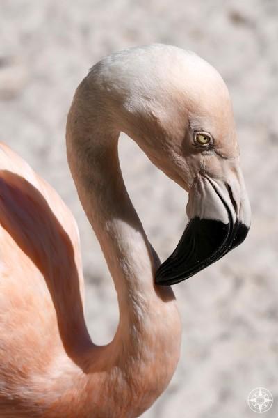 Classic Pink Flamingo look displayed by Chilean flamingo in Sunken Gardens, Florida.
