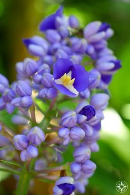 purple, yellow and white blooms on Blue Ginger blooming in Sunken Gardens, Florida