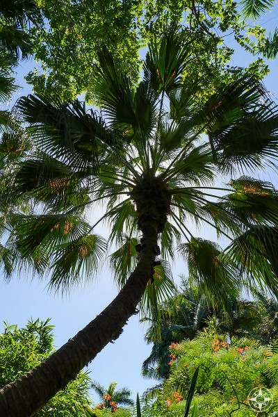 Tall palm tree blocking out the sun in the Sunken Gardens, Florida