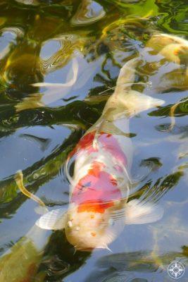 Colorful koi swim throughout the Japanese Garden of the Sunken Gardens, Florida