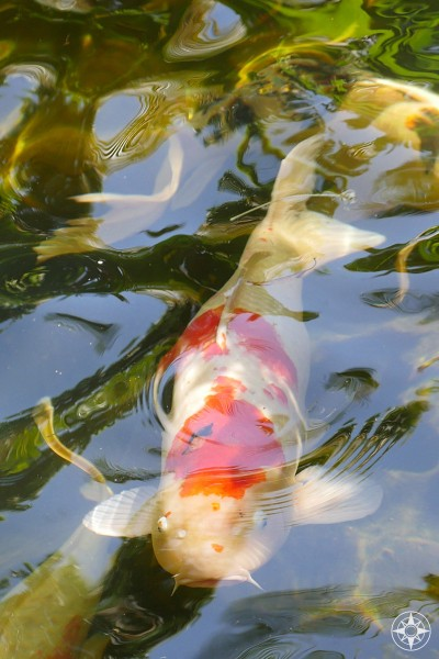 Colorful koi swim throughout the Japanese Garden of the Sunken Gardens, Florida