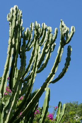 Tall cactus in Sunken Gardens, Florida