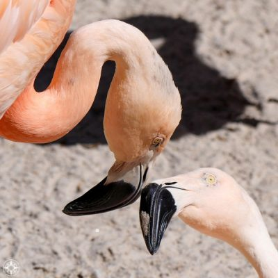 Flamingos touching beaks, Sunken Gardens, St. Pete