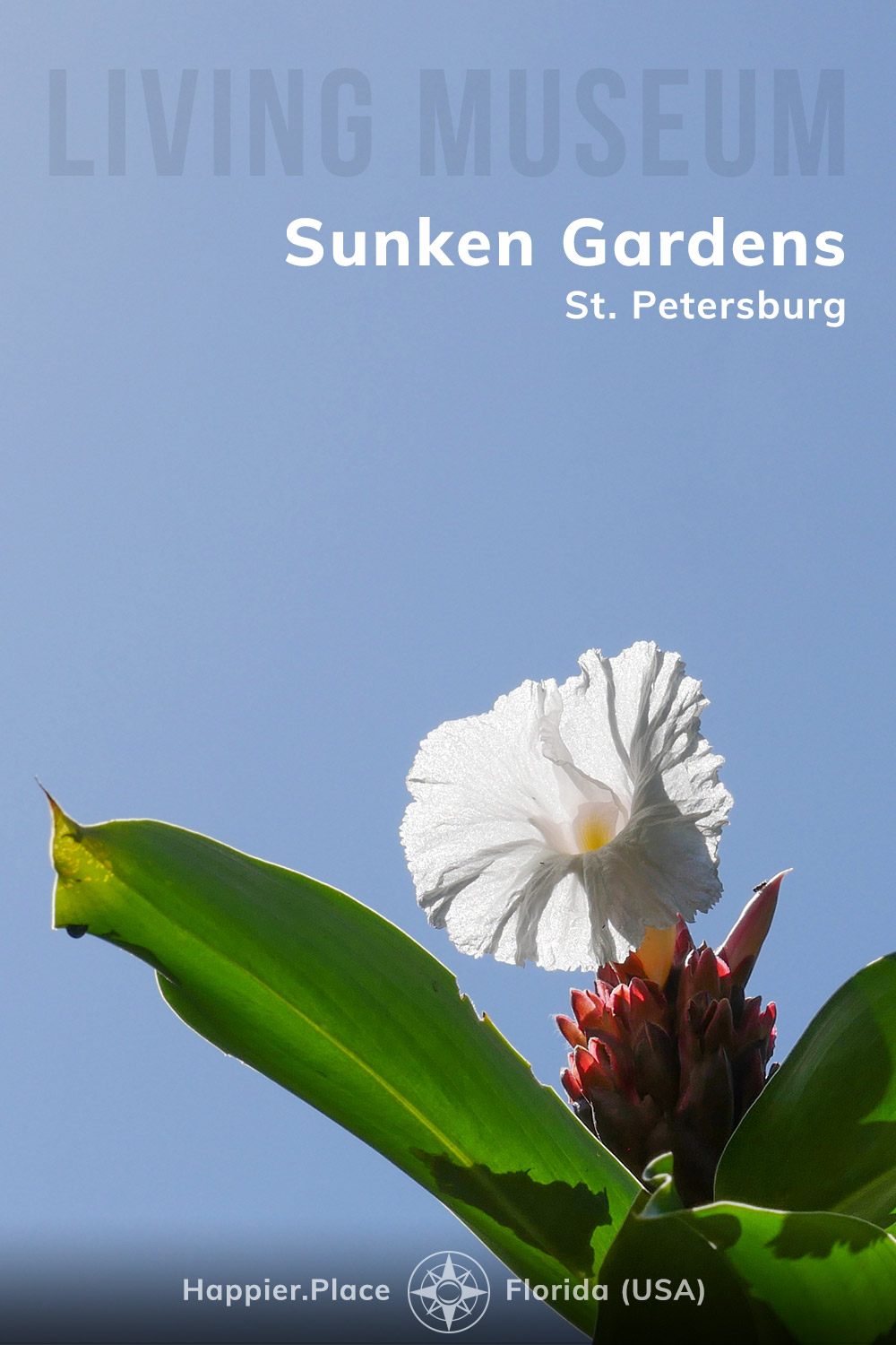 Living Museum: Sunken Gardens, St. Petersburg, Florida, Happier Place, Crepe Ginger Bloom