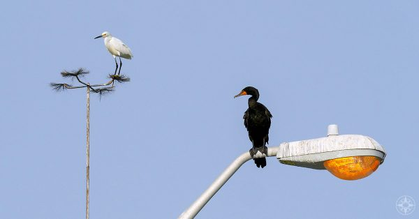 Snowy egret and double-crested cormorant on lamp post, Fort De Soto, Florida