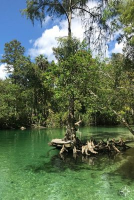 tree growing out of the river, wooden platform along the Weeki Wachee River