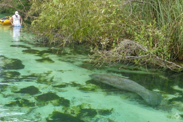 manatee in weeki wachee river seen from stand-up paddle board vantage point, not seen by kayaker standing in water