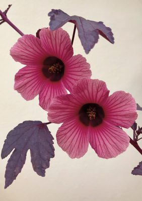 Pink Cranberry Hibiscus blooms and purple leaves against yellow wall. pic162: cranberry hibiscus wall, folded greeting card