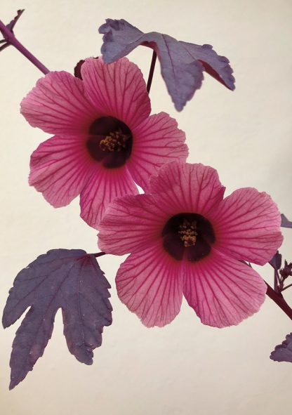 Pink Cranberry Hibiscus blooms and purple leaves against yellow wall. pic162: cranberry hibiscus wall