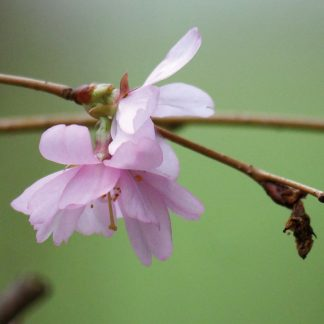 Delicate light pink blooms of almond tree blooming in Germany. pic163: almond blossom, folded greeting card, photo by Luci Westphal