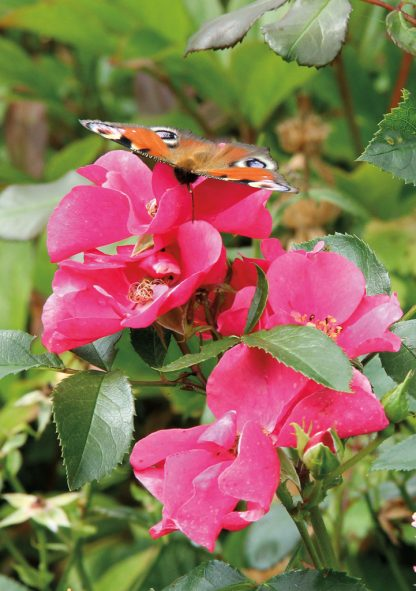 Tagpfauenauge, European peacock butterfly on pink roses in Germany, pic164: butterfly on pink roses, folded greeting card