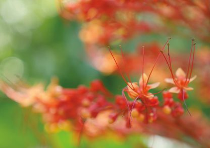 Bokehlicious macro close-up of pagoda bloom, shades of orange and red, Sunken Gardens, Florida, pic165: orange pagoda bloom close-up, folded greeting card