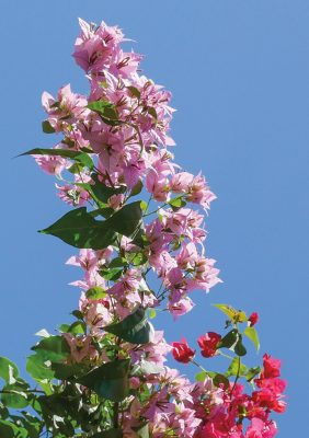 light pink bougainvillea stretching tall against blue sky, Sunken Gardens, Florida, pic167: tall bougainvillea, HappierPlace