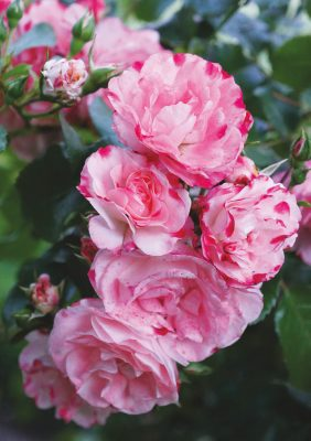 Pink roses blooming in Germany, pic169: pink rose bow, folded greeting card