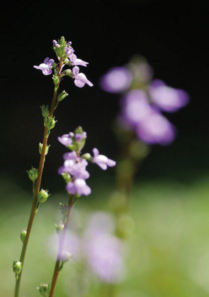 Tiny, but tall, purple backyard wildflower up close, pic171: purple toadflax, folded greeting card