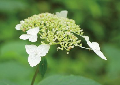 White blooms on green wildflower, Waldhortensie, pic173: wild white hydrangea, forest, Appalachian Mountains, Georgia