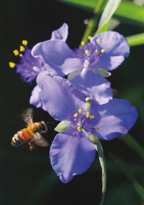 Bee in flight, purple, blue spiderwort, wildflower, pic174: bee on blue spiderwort, folded greeting card
