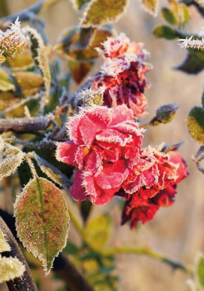 red roses covered in hoar frost, pic175: frosted roses