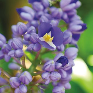 Purple blue ginger bloom opening up to reveal white and yellow, pic176: purple blue ginger, greeting card
