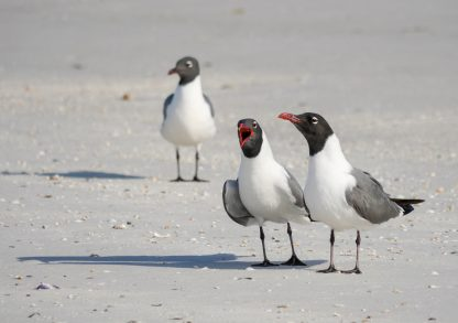 Three laughing gulls, yelling, listening, ignoring on the beach, pic177, laughing gull trio, folded greeting card, Florida, Happier Place
