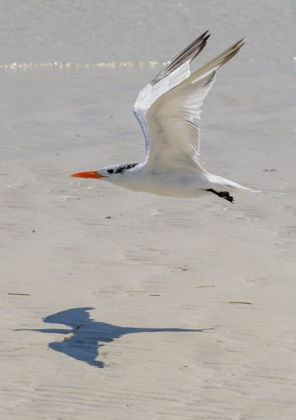 Tern and its menacing shadow over Three Rooker Island - pic178: flying tern shadow