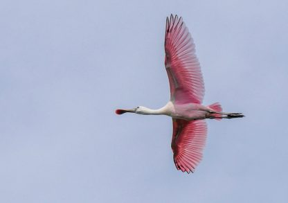 Pink Roseate Spoonbill flying overhead against blue sky, pic180, HappierPlace