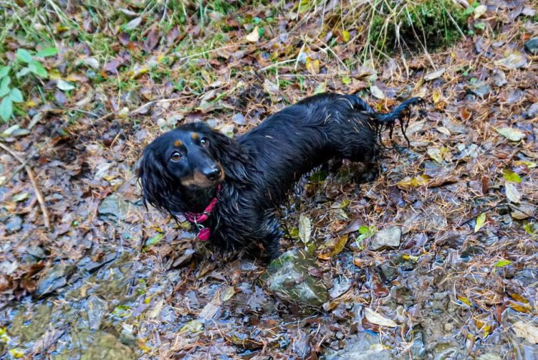 Wet Dachshund, hiking dog Trudy after jumping into water in Grampian Mountain Range, Scotland