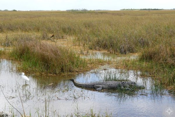 Alligator and snowy egret, Shark Valley, Everglades National Park, Florida, Happier Place