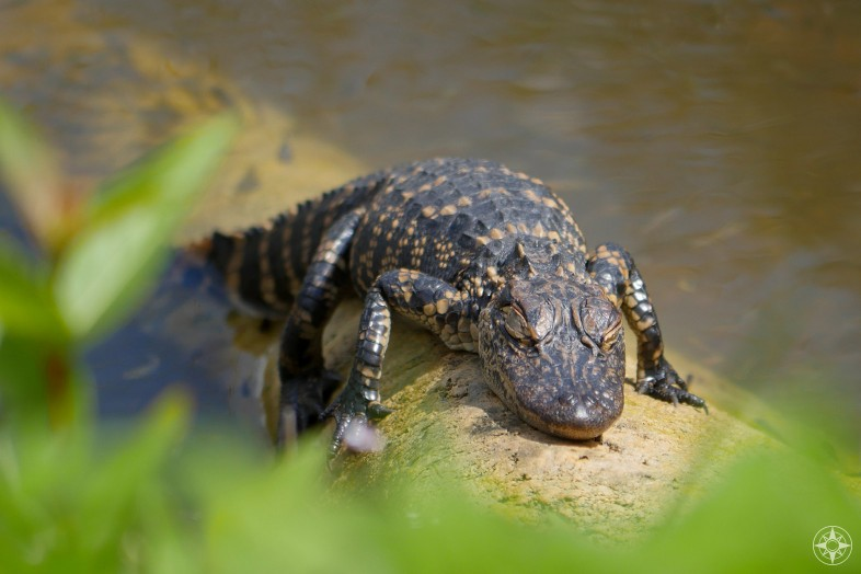 Striped baby American alligator sleeping on a log in the river of grass, Shark Valley, Everglades National Park