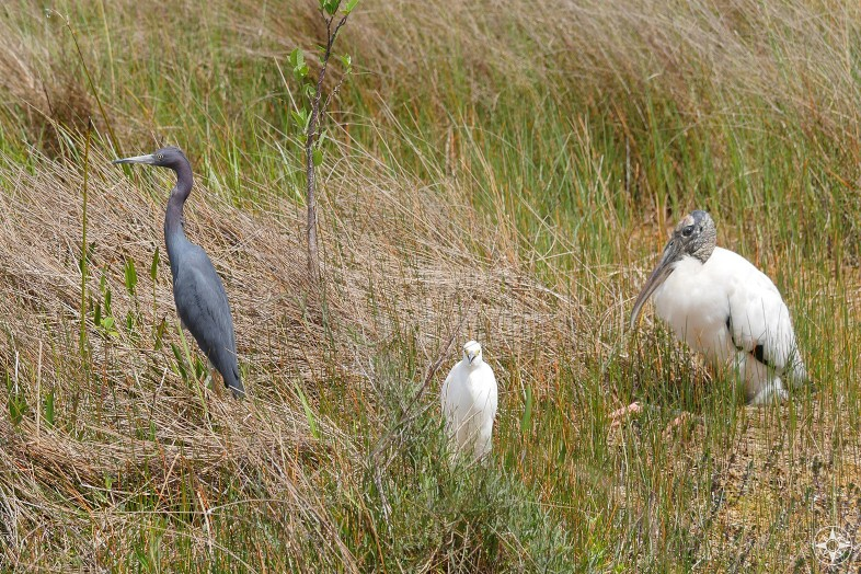Blue Heron, Snowy Egret, Wood Stork, freshwater grass marsh, Shark Valley, Everglades, Florida