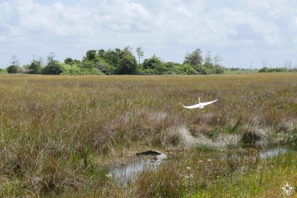 Great White Egret take off, gator, freshwater marsh, Shark River Slough, hammock, tree island