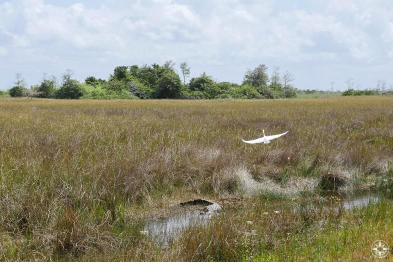 Great White Egret take off, gator, freshwater marsh, Shark River Slough, hammock, tree island