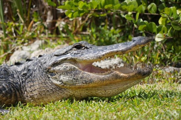Close-up gator head with open mouth, Shark Valley, Everglades, Florida
