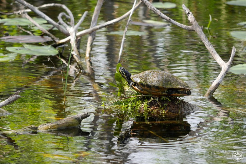 Turtle resting on log in canal