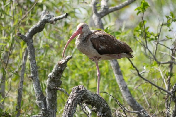 Immature white ibis has brown feathers, standing on one leg on tree, Everglades hammock